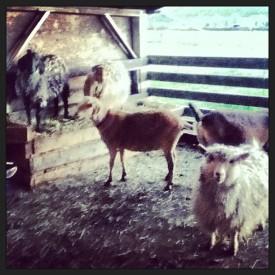 Goatys2